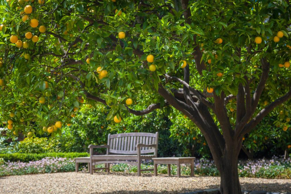 скамья у апельсинового дерева