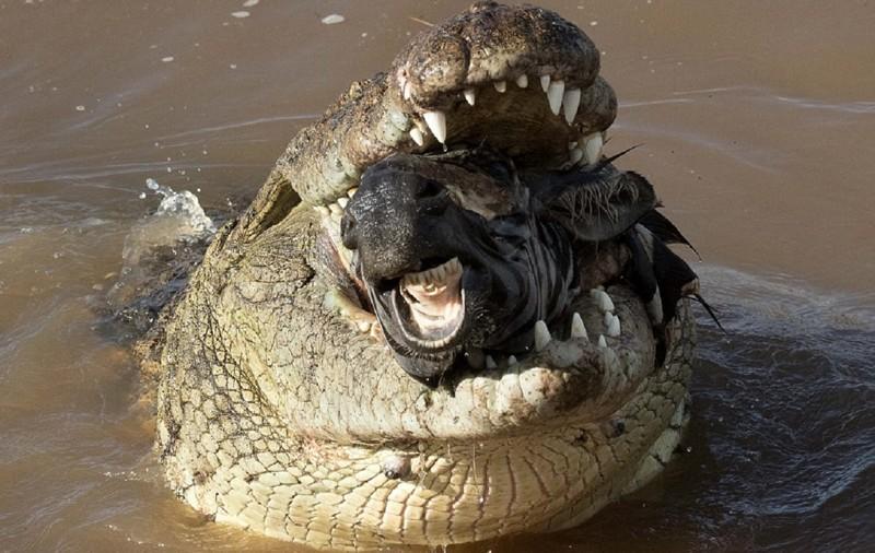 В мире животных: оторванная голова зебры в крокодильей пасти