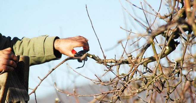 Обрезка яблонь весной - осно…