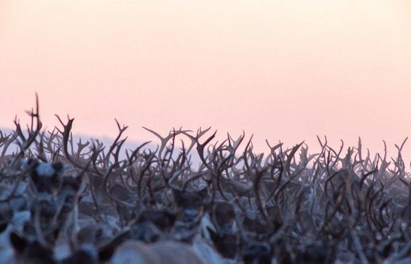 Фотограф Джеффри Рейно восемь дней следовал за стадом, чтобы сделать эти снимки, и насчитал более 3200 особей животные, канада, миграция, мир, олень, природа, фотография