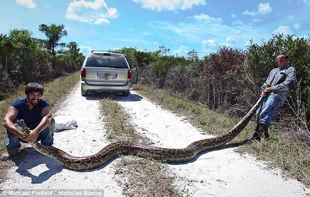 Охотники на змей поймали во Флориде пятиметрового питона