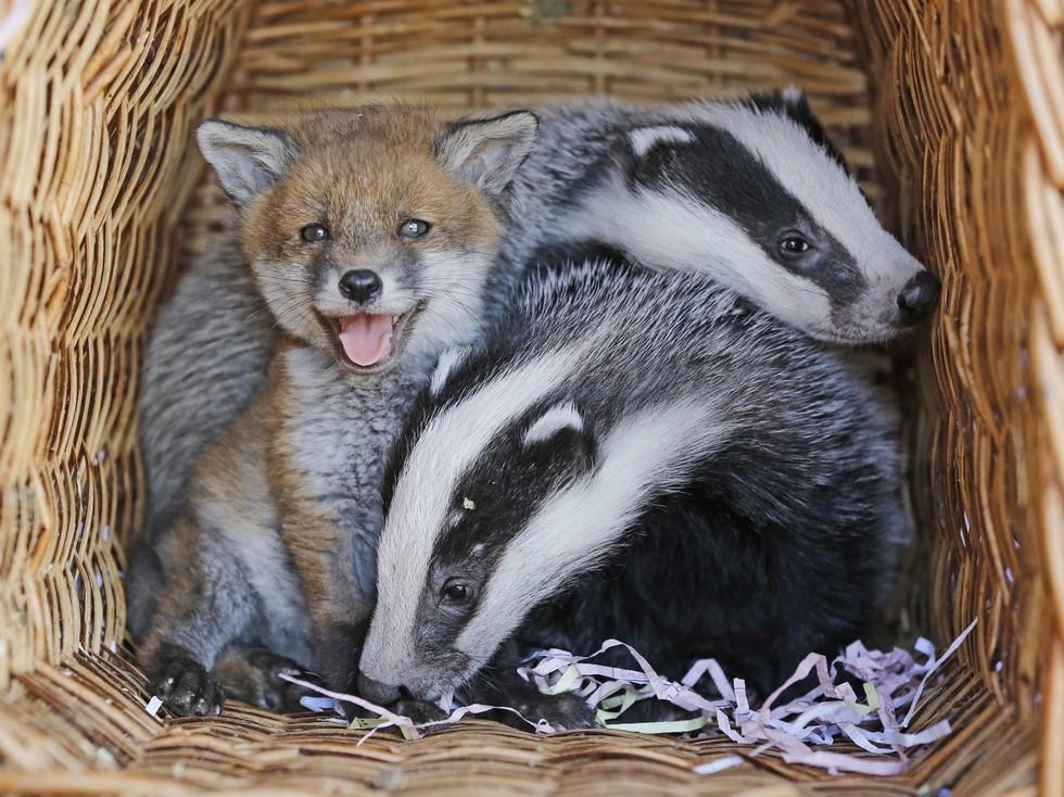 Барсуки приютили брошенного лисёнка, так как сами были сиротами