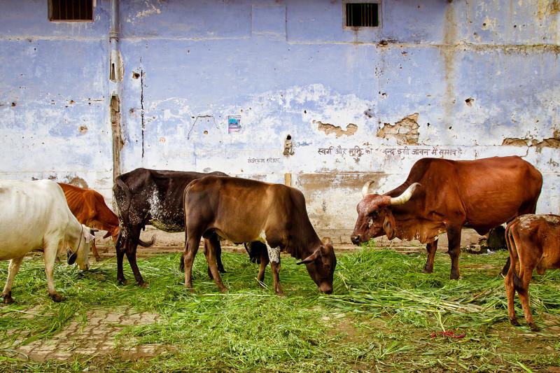 Неприкосновенное животное Индии
