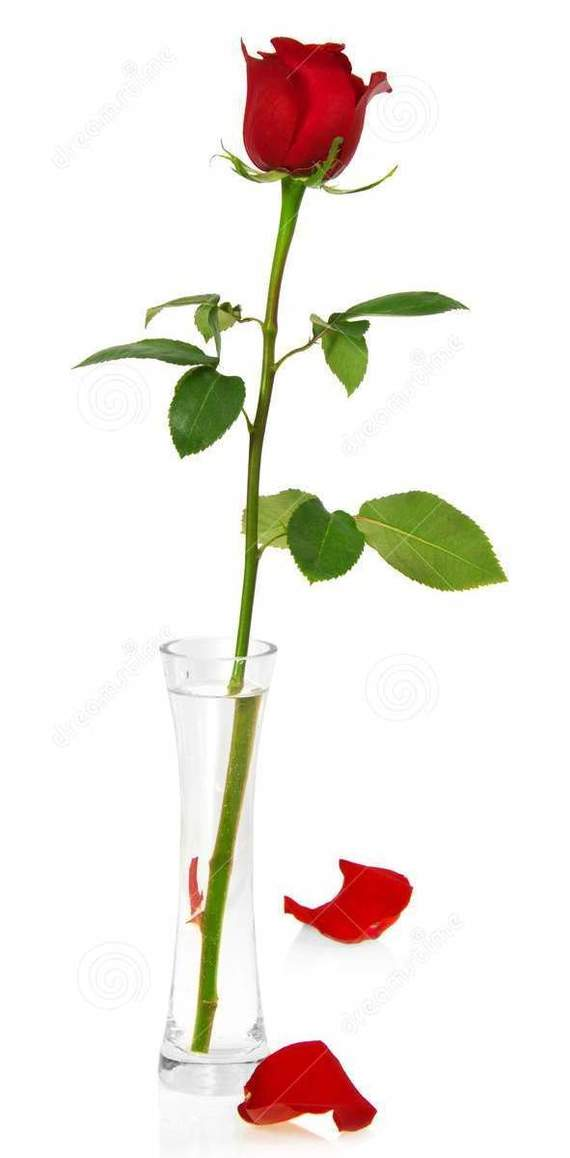 Как у меня роза росла