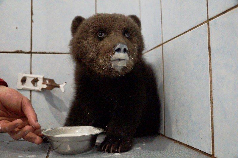 В Ленинградской области спасают раненного маленького медвежонка
