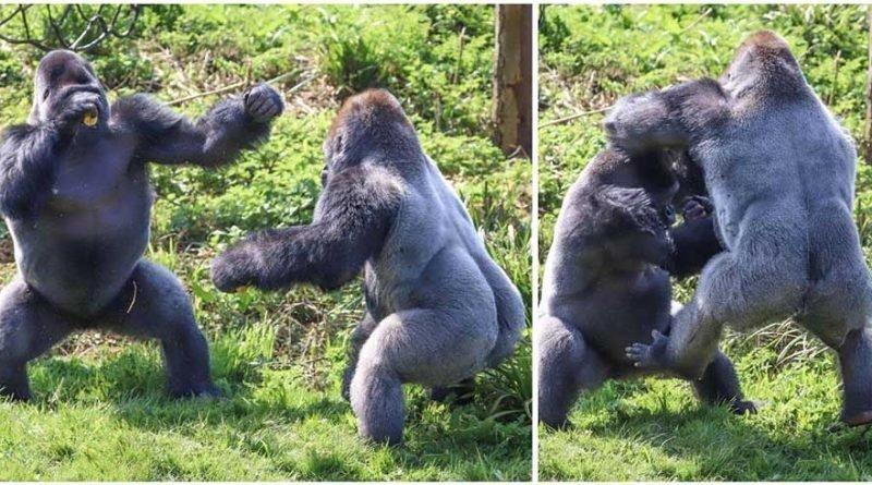 Драка двух горилл за еду
