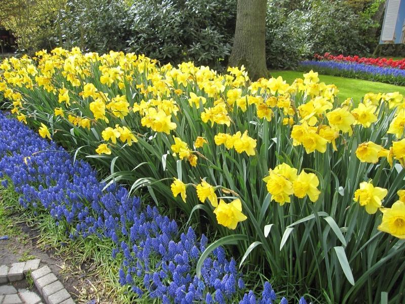 Почему могут перестать расти нарциссы в саду?
