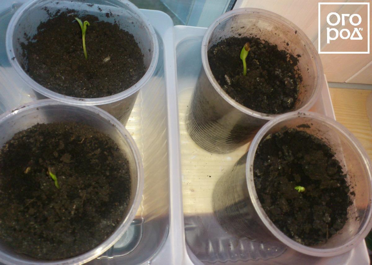 Выращивание арбуз из семян в 327