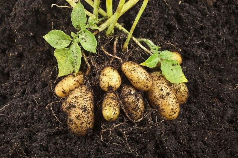 Ранний картофель: сорта, выращивание, подготовка к посадке