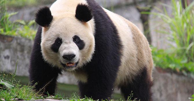 Райские места обитания больших панд