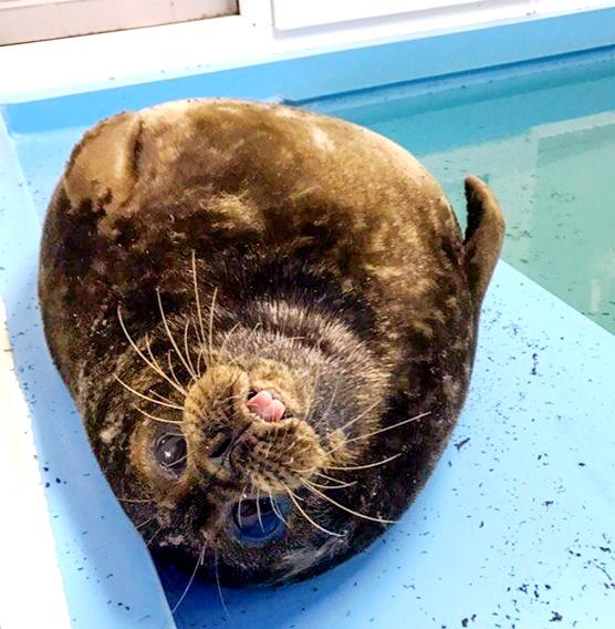 Это Крошик - тюлень-сирота, наотрез отказавшийся возвращаться на волю. Так привязался к своим спасителям...