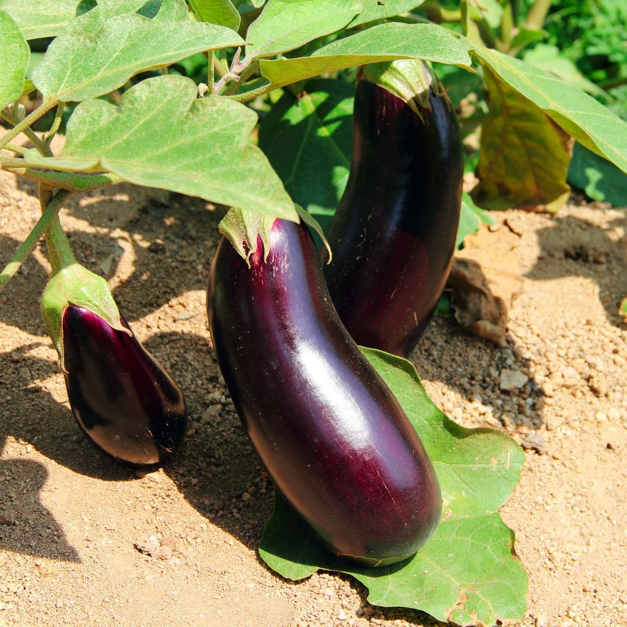 Десять ошибок при выращивании баклажанов