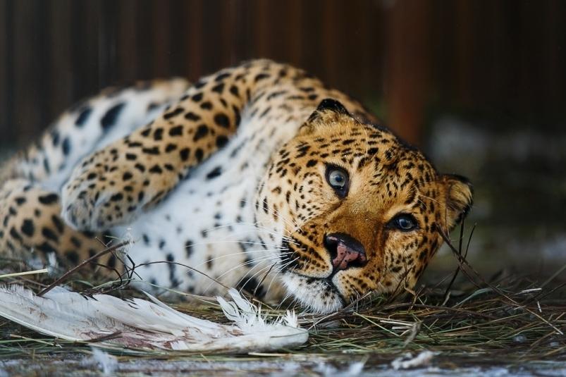 В 2018 году в Приморье зафиксировано рекордное количество леопардов