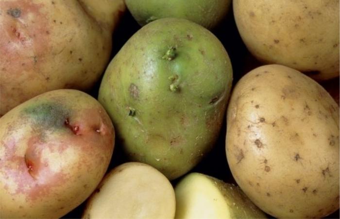 Такой картофель несет угрозу здоровью. / Фото: fermer.blog