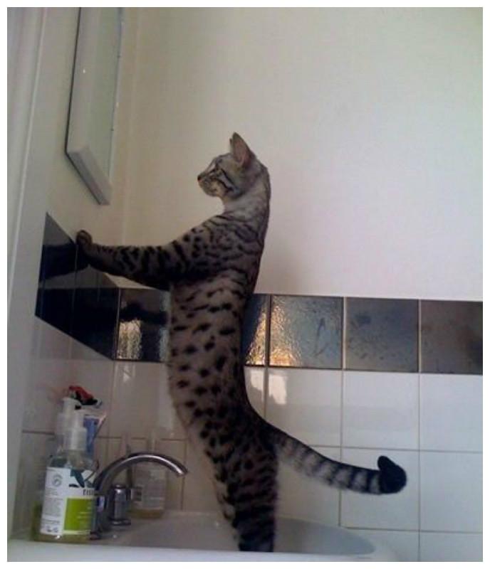 Смотреть на себя в зеркало и скромно поражаться своей неотразимостью коты, милота, поведение, счастье, эмоции