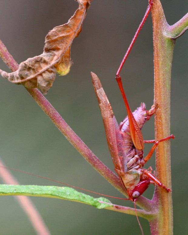В природе существует экзотический розовый кузнечик.