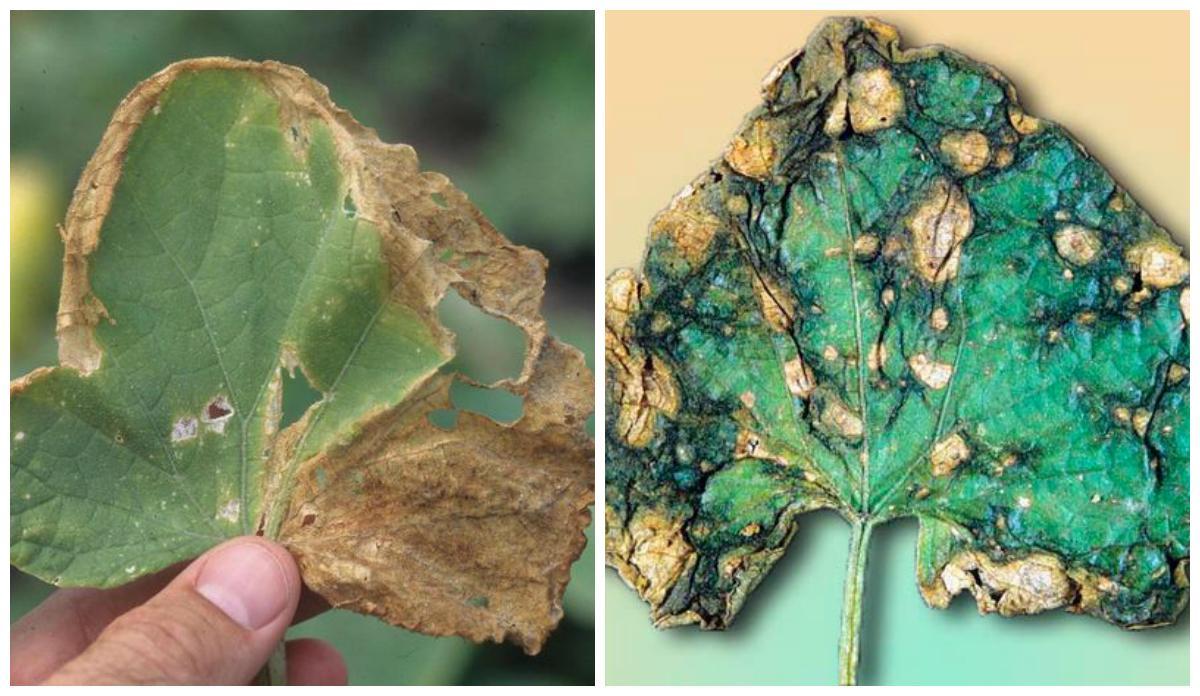 Аскохитоз (чёрная микосфереллёзная стеблевая гниль) огурца
