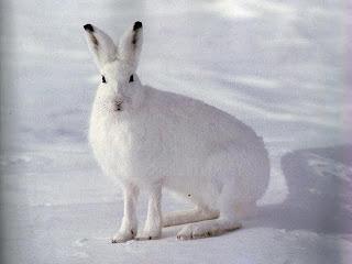 Петли на зайца, охота на зайца ( Установка петель )