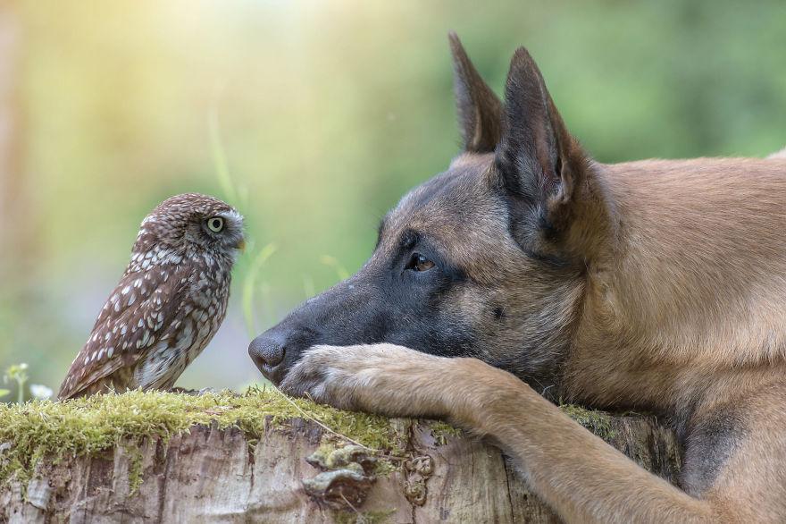 Эти 10 фото овчарки, которая дружит с совами, растопят ваше сердечко