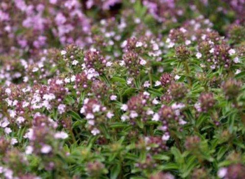 Тимьян полезное растение для здоровья