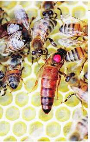 ловля пчеломатки