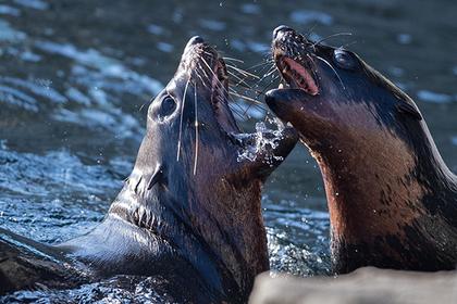 Полсотни злых тюленей загнал…