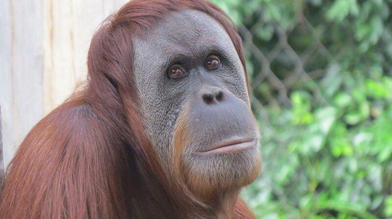 Такие они, орангутаны (2 фото)