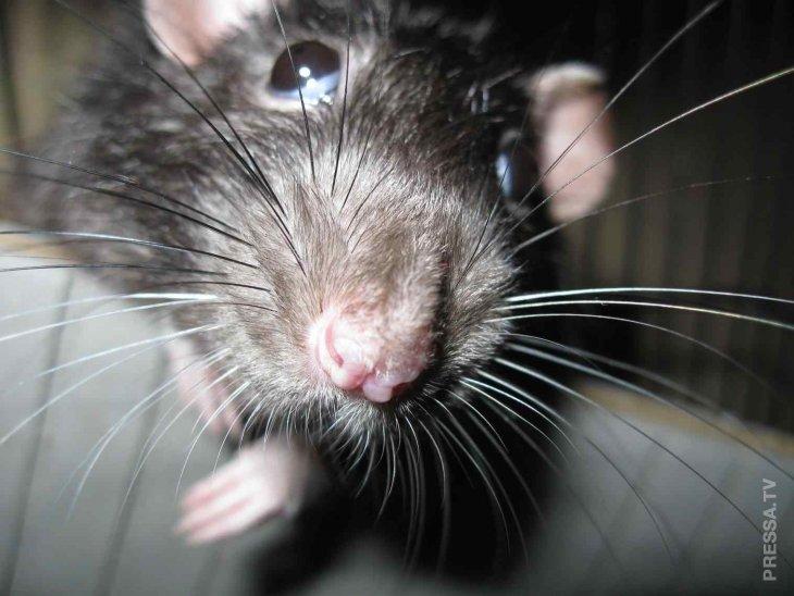 Мстительная крыса