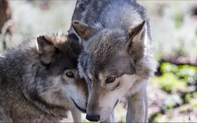Волчья верность
