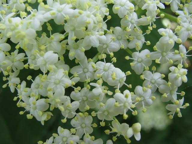 Цветы бузины – лечебные свойства