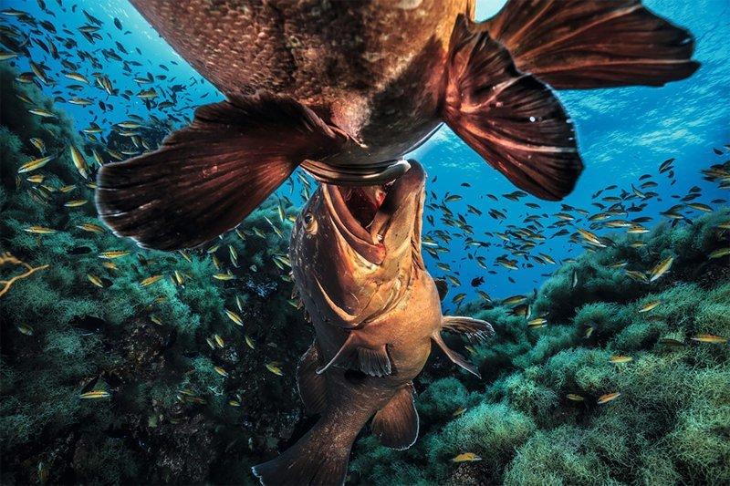 """""""Схватка больших рыб"""", Чиас Пуйоль Wildlife Photographer of the Year, животные, конкурс, мир, под водой, природа, фотография, фотомир"""