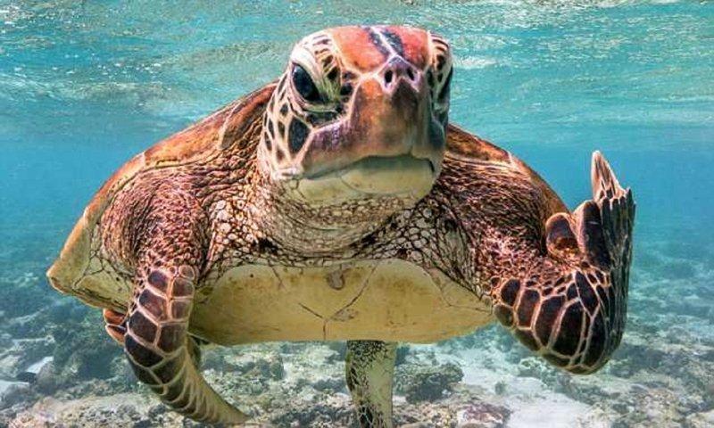 Черепаха показала дайверу неприличный жест!