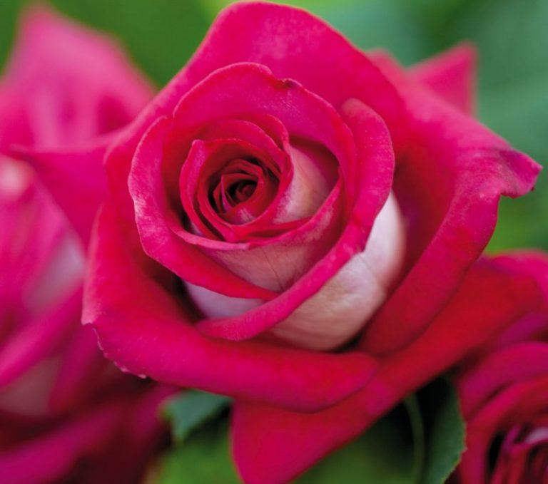 её величество Роза
