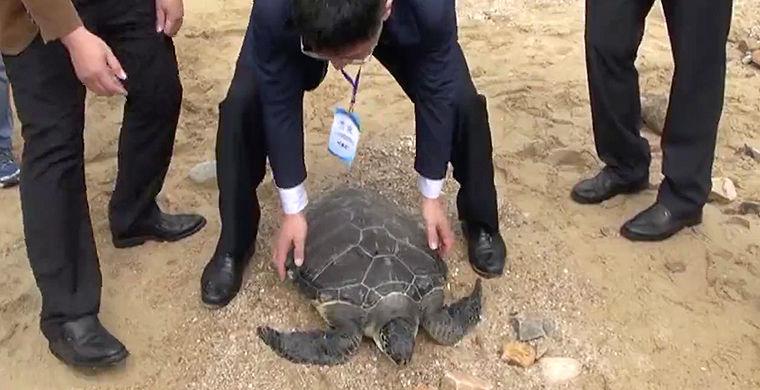 В Китае отпустили на волю 100 морских черепах