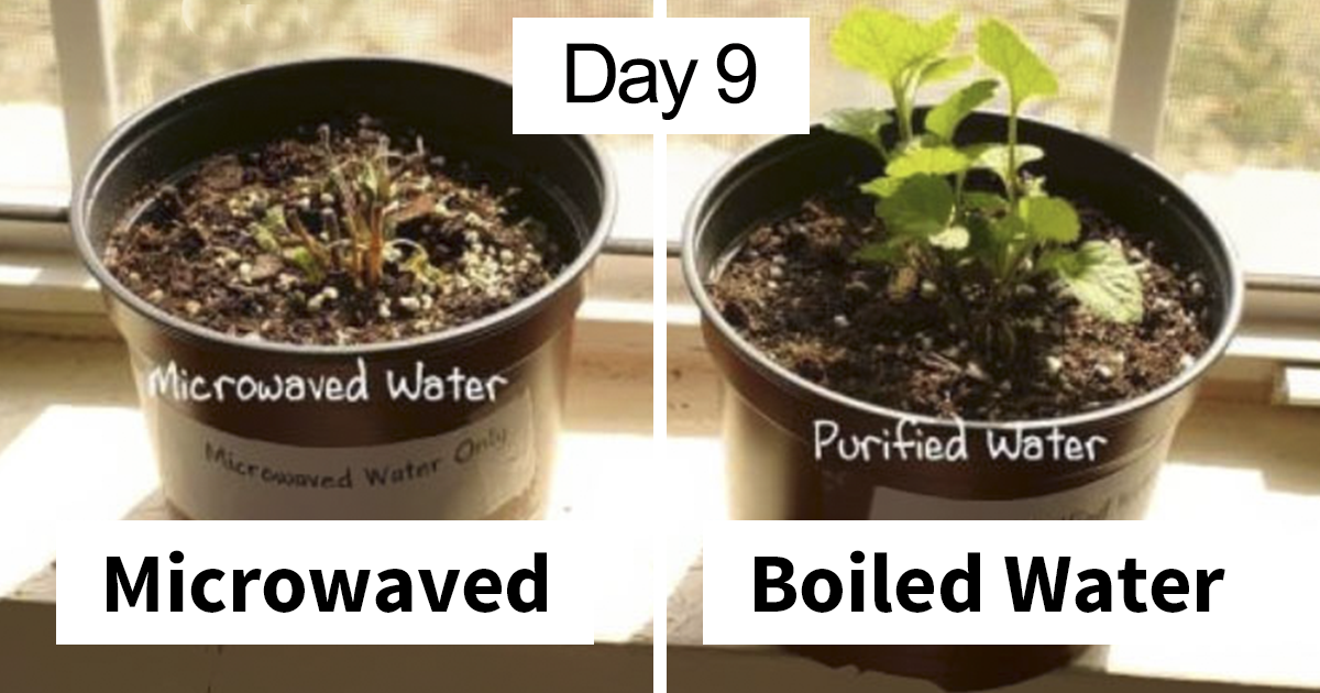 Someone Shows What Happens When You Use Microwaved Water Vs Boiled Water For Plants, Gets Destroyed With Facts