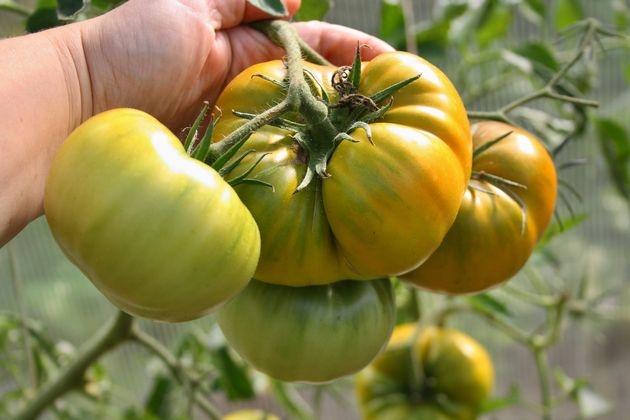 Не бойтесь зеленых помидоров!
