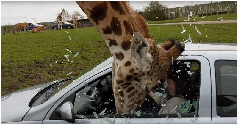 жираф в сафари-парке разбивает головой окно автомобиля
