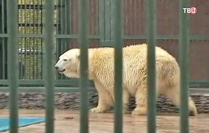 Cпасенного в Якутии белого медвежонка привезли в Москву