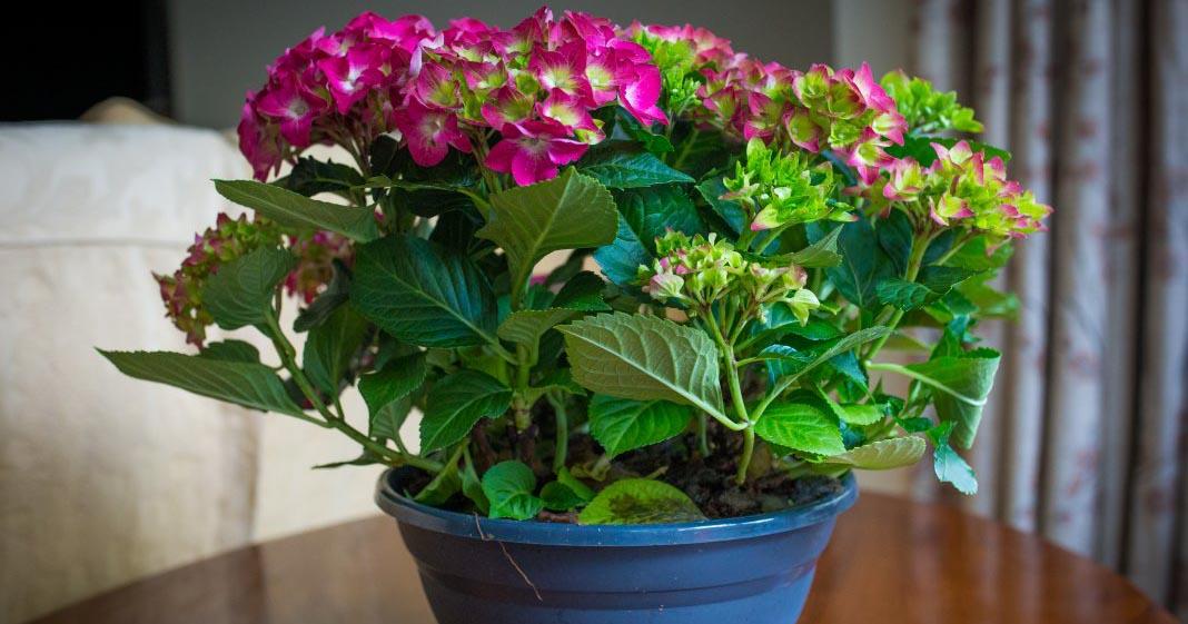 ТОП-5 комнатных растений с самыми пышными и красивыми цветками