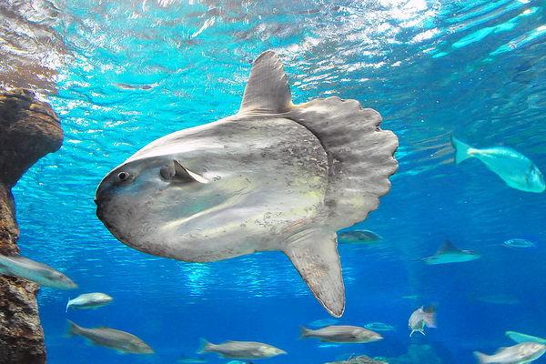 Родственница фугу — рыба-луна