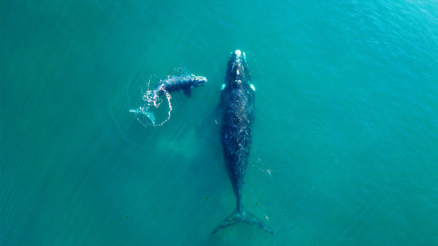 Whale-Watching from Space? The Project Using Satellites to Monitor Wildlife