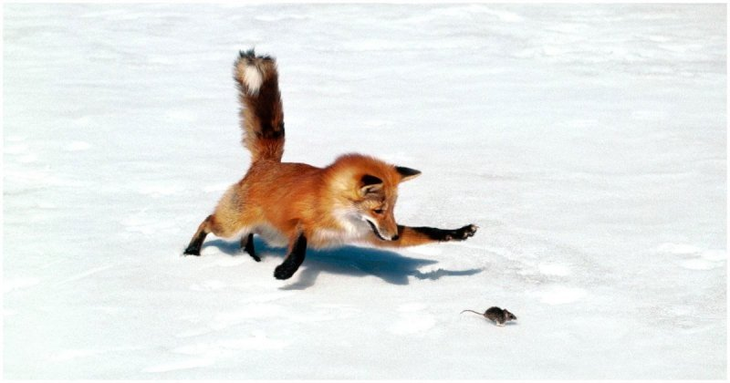 "Канадец заснял, как ""мышкует"" лиса"