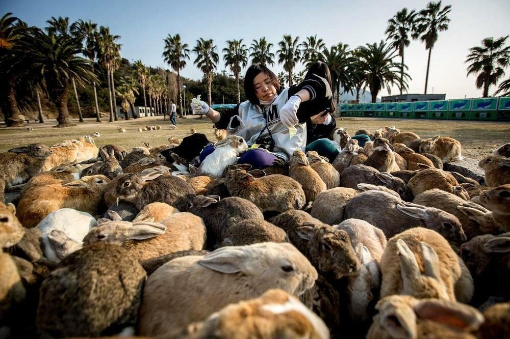 Остров Окуносима, где живут тысячи кроликов, умиляет туристов настолько, что они хотят остаться