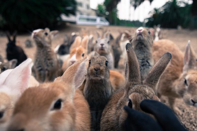 Японский остров, который находится под властью кроликов