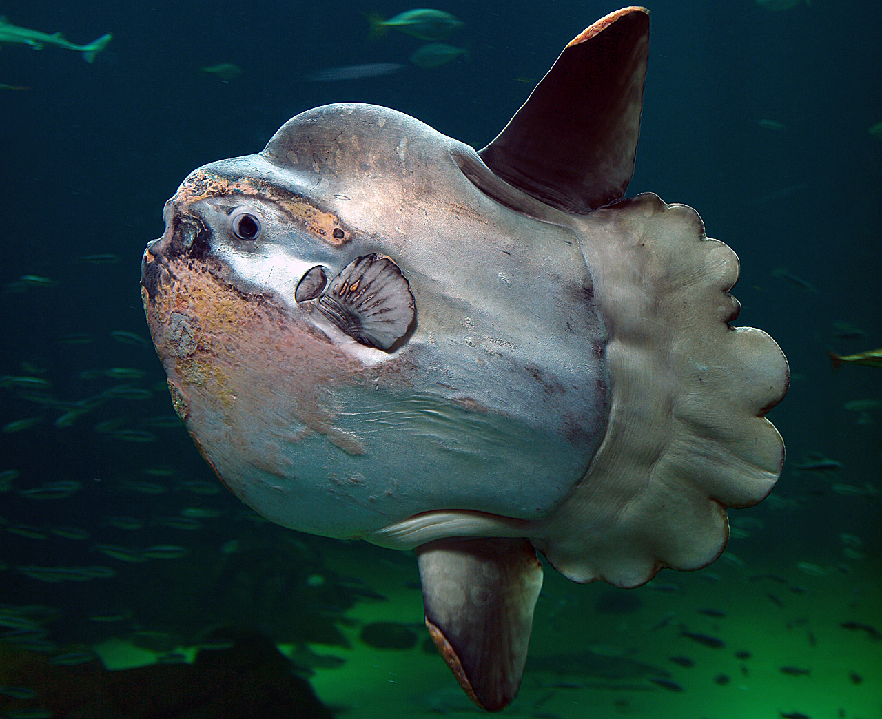 https://upload.wikimedia.org/wikipedia/commons/8/84/Sunfish2.jpg