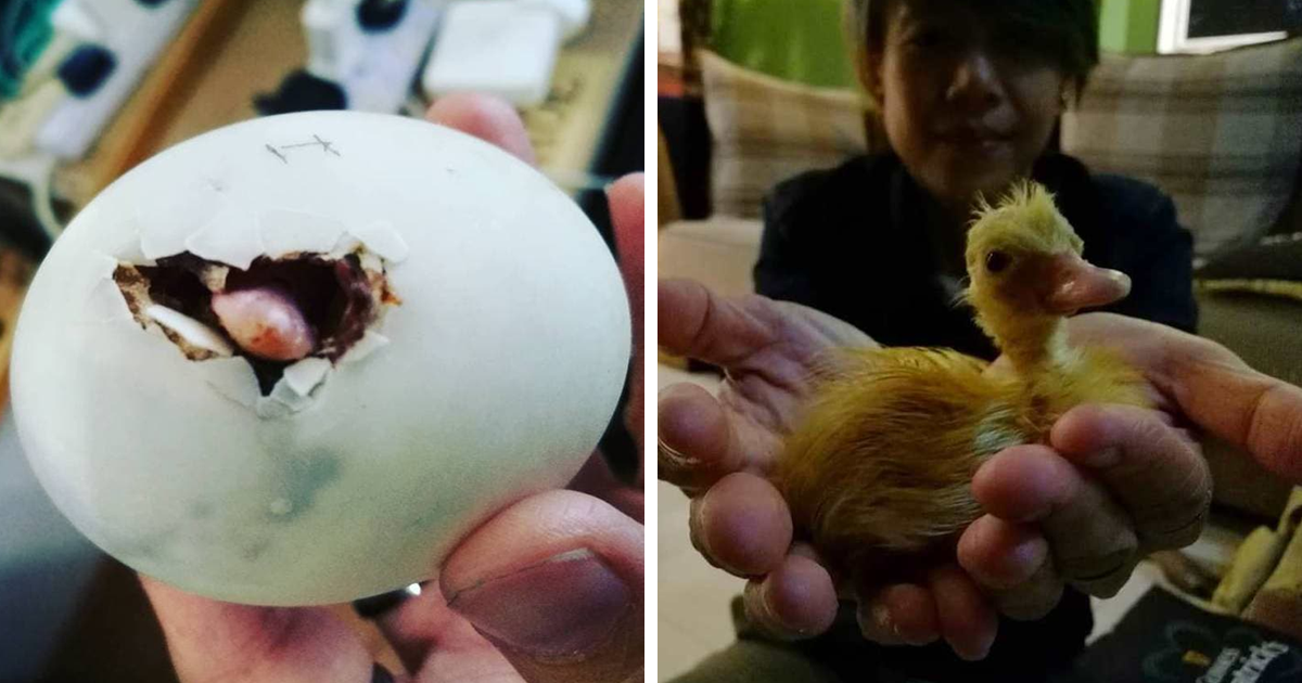 Woman Buys A Balut Egg In A Restaurant And Hatches The Duckling That's Now Her Best Friend