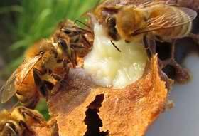 Маточное молочко пчелиное: с…