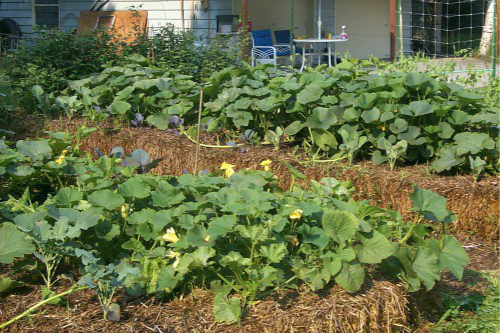 Выращивание овощей на соломенных тюках