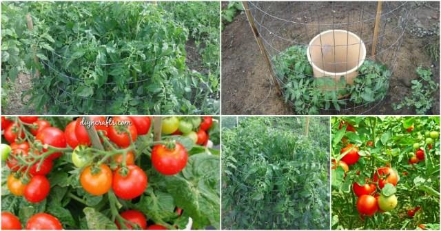 10 шагов чтобы правильно посадить и вырастить большой урожай вкусных томатов (Видео)