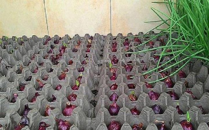 Выращиваем зеленый лук в любое время года